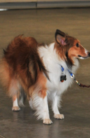 Fearful Sheltie helped by TTouch
