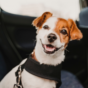 Dog travelling in the car needs TTouch