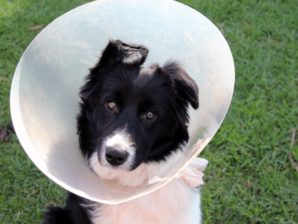 Vet collar training for your dog with TTouch